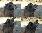 Kamelstudie im Kölner Zoo