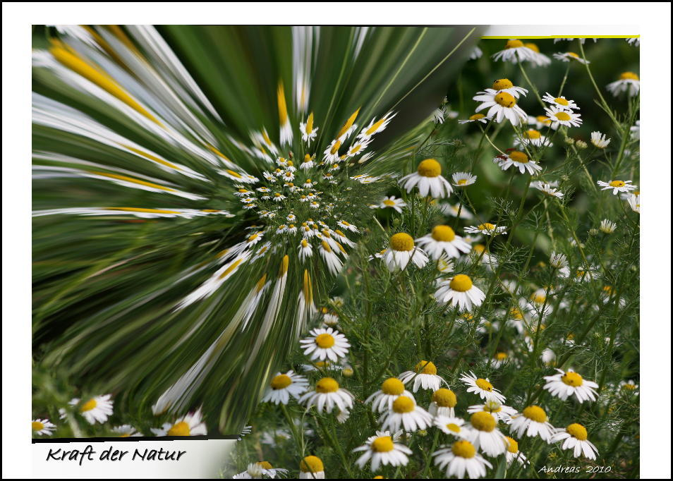 """Kamille oder """"Die Kraft der Natur"""""""