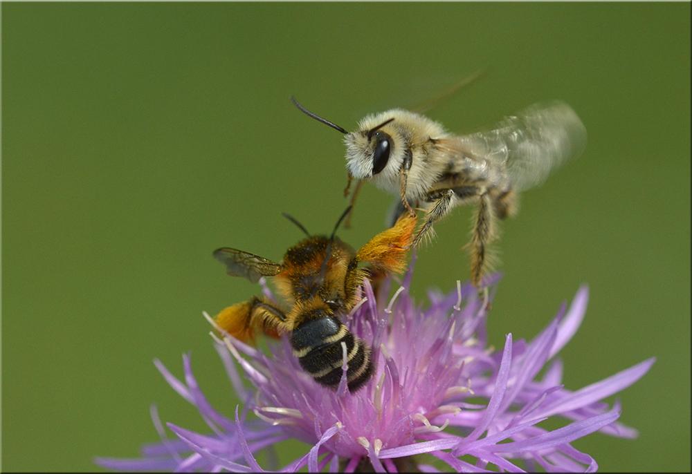 Kampf der Bienen um die Blüten