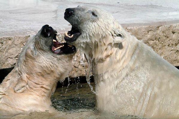 Kampf der Eisbären
