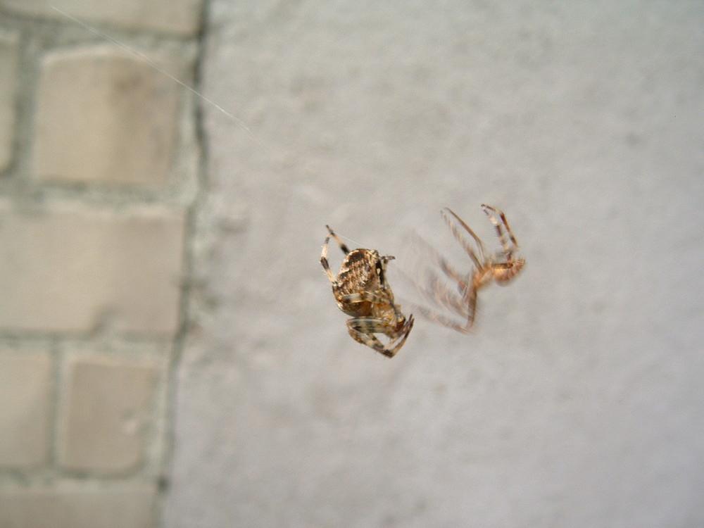 Kampf der Spinnen