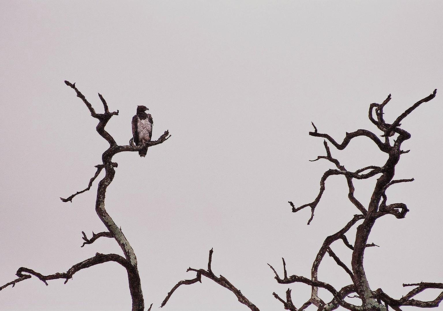 Kampfadler im Kruger Nationalpark