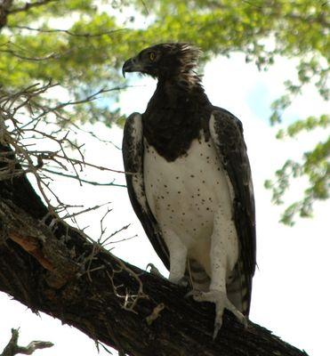 Kampfadler in der Selous