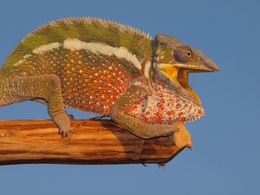 Kampfchamäleon auf Madagascar :)