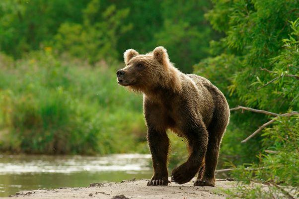 Kamtschatka-Braunbär