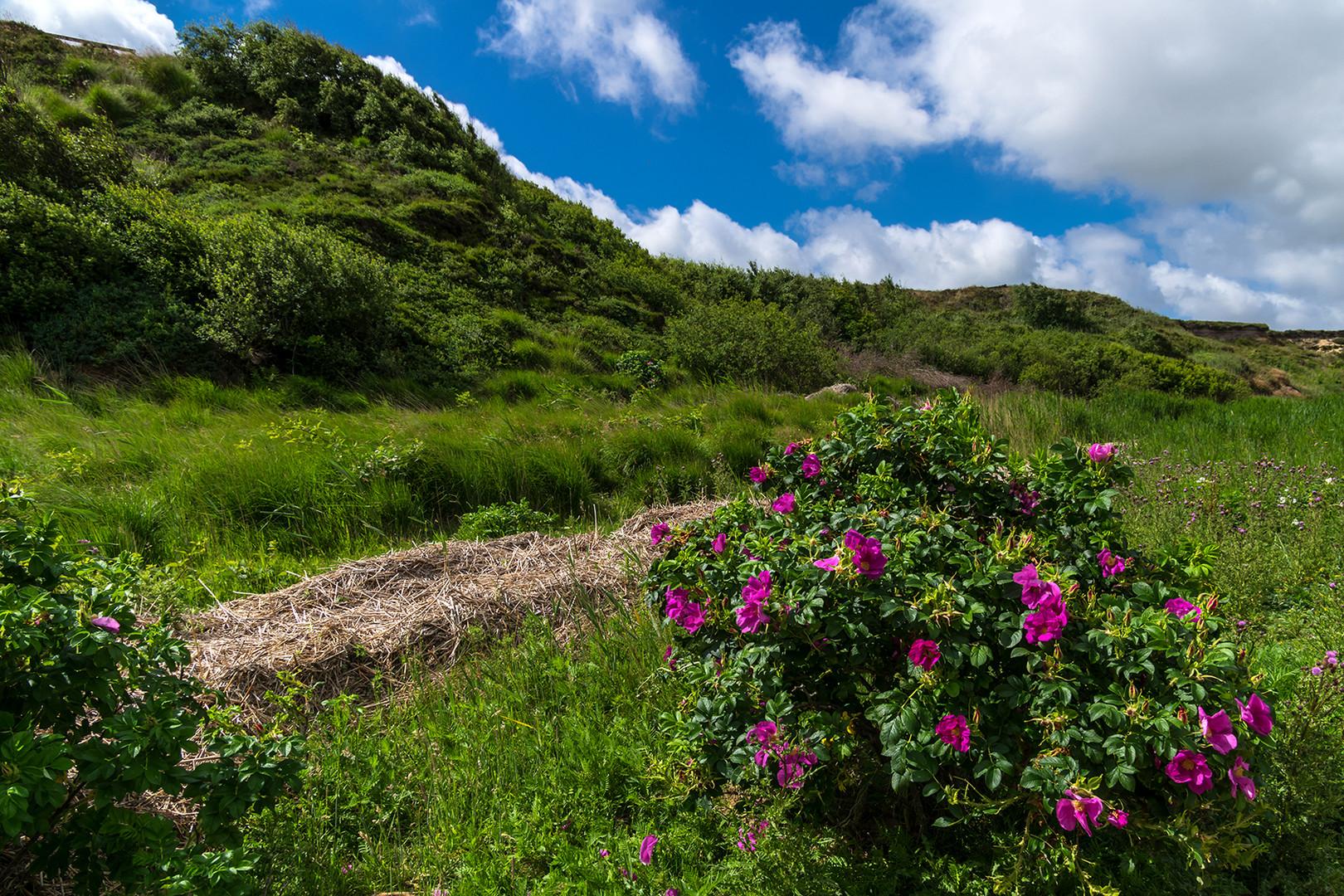 Kamtschatka-Rose am Watt bei Morsum