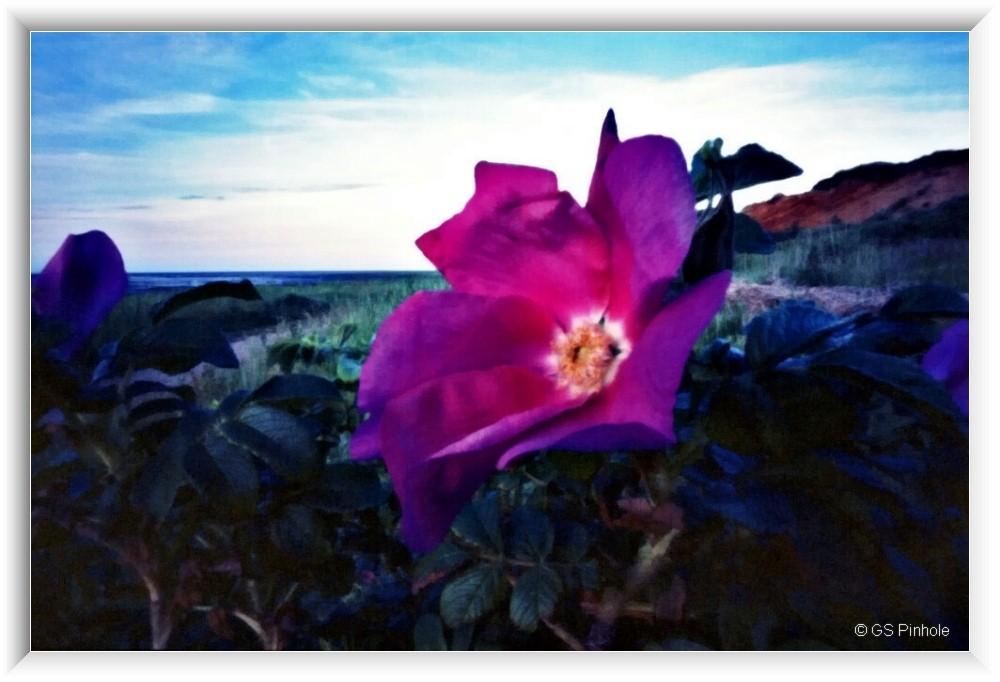 Kamtschatka-Rose / Sylt