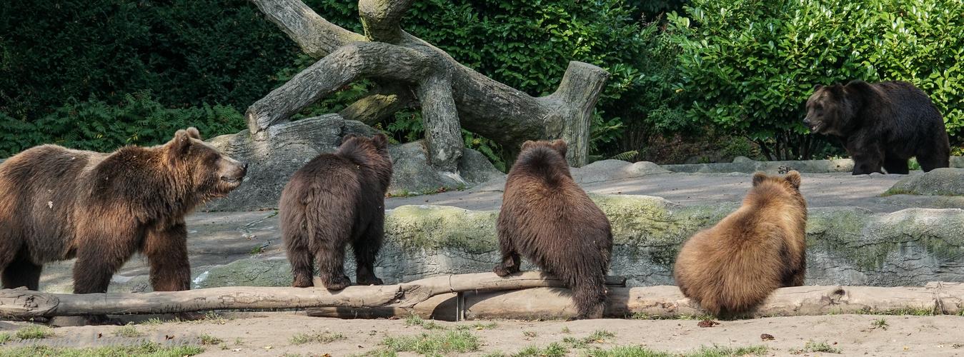 Kamtschatkabären im Tierpark-Hagenbeck