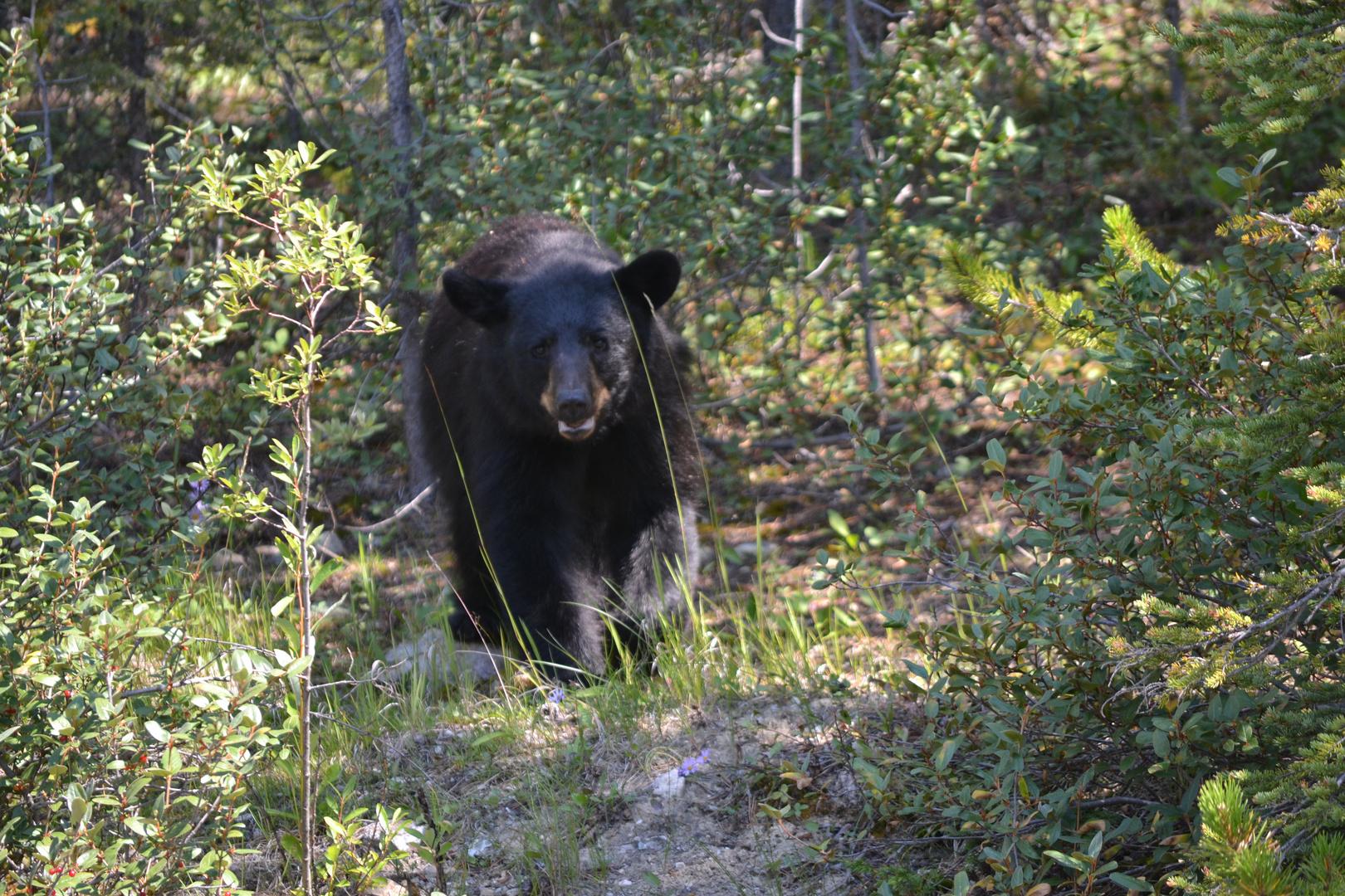 Kanada-Land ist Bärenland...