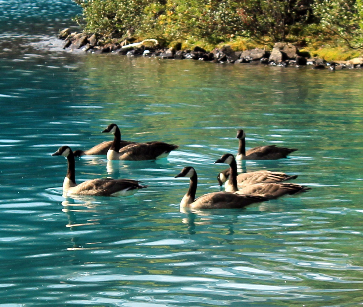 Kanadagänse am Bow Lake