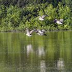 Kanadagänse im Flug auf dem Bruchsee