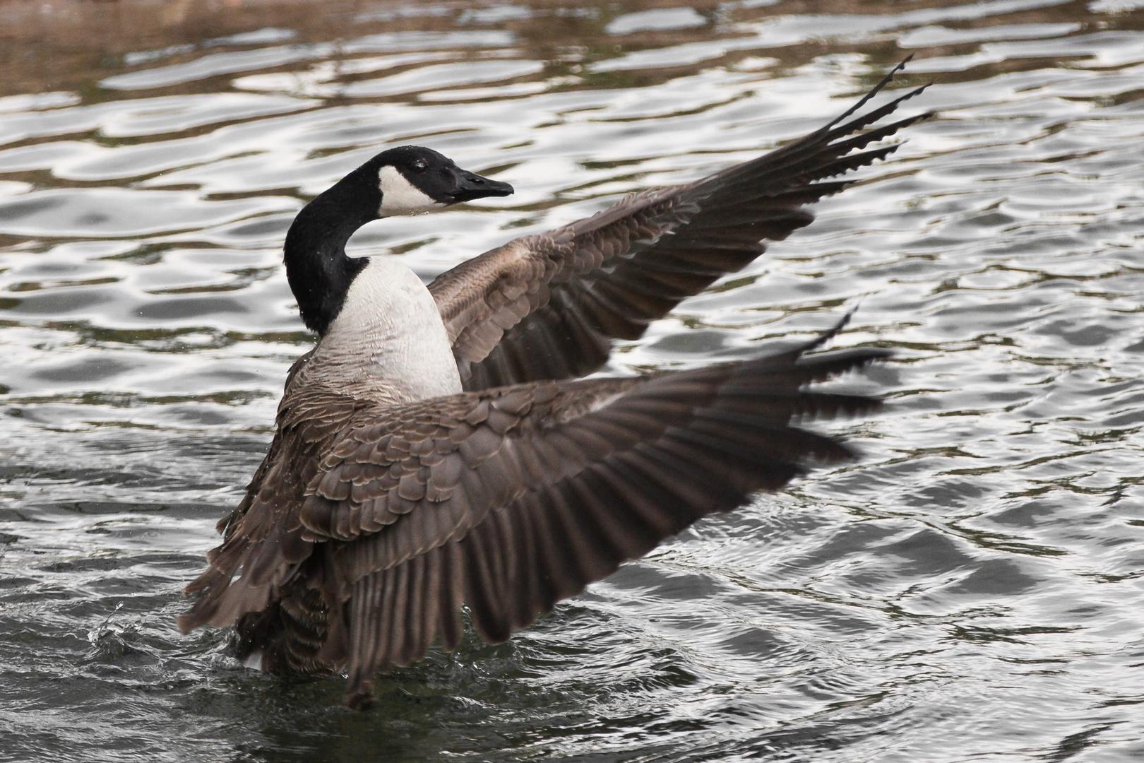 Kanadagans Flügel ausbreitend