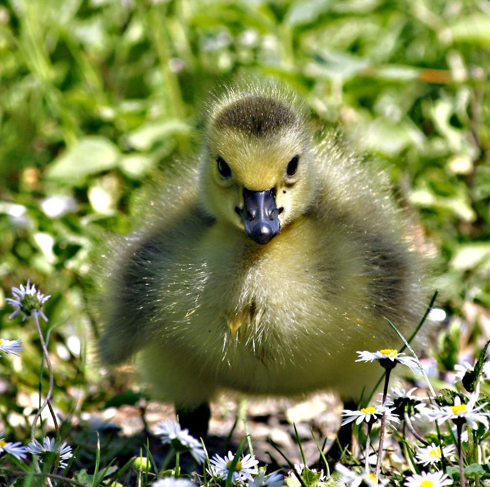 Kanadagans - Gössel oder: The little duck in the ocean of daisies