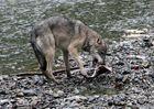 Kanadischer Wolf (Canis Lipas hudsonicas) (12)