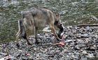 Kanadischer Wolf (Canis Lupas hidsonicas) (8)