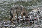 Kanadischer Wolf (Canis Lupas hudsonicas) (10)