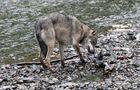 Kanadischer Wolf (Canis Lupas hudsonicas) (11)