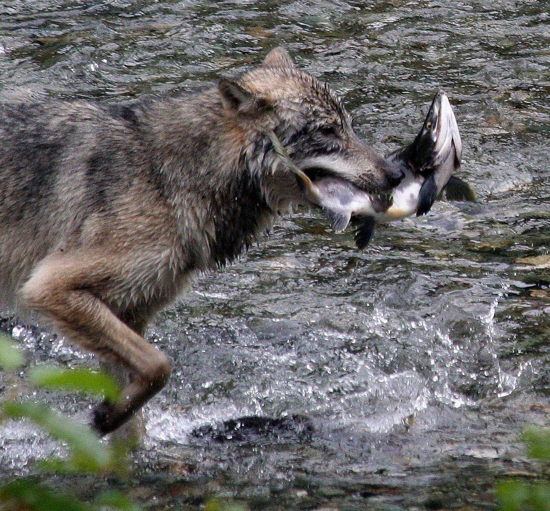 Kanadischer Wolf (Canis Lupas hudsonicas) (13)