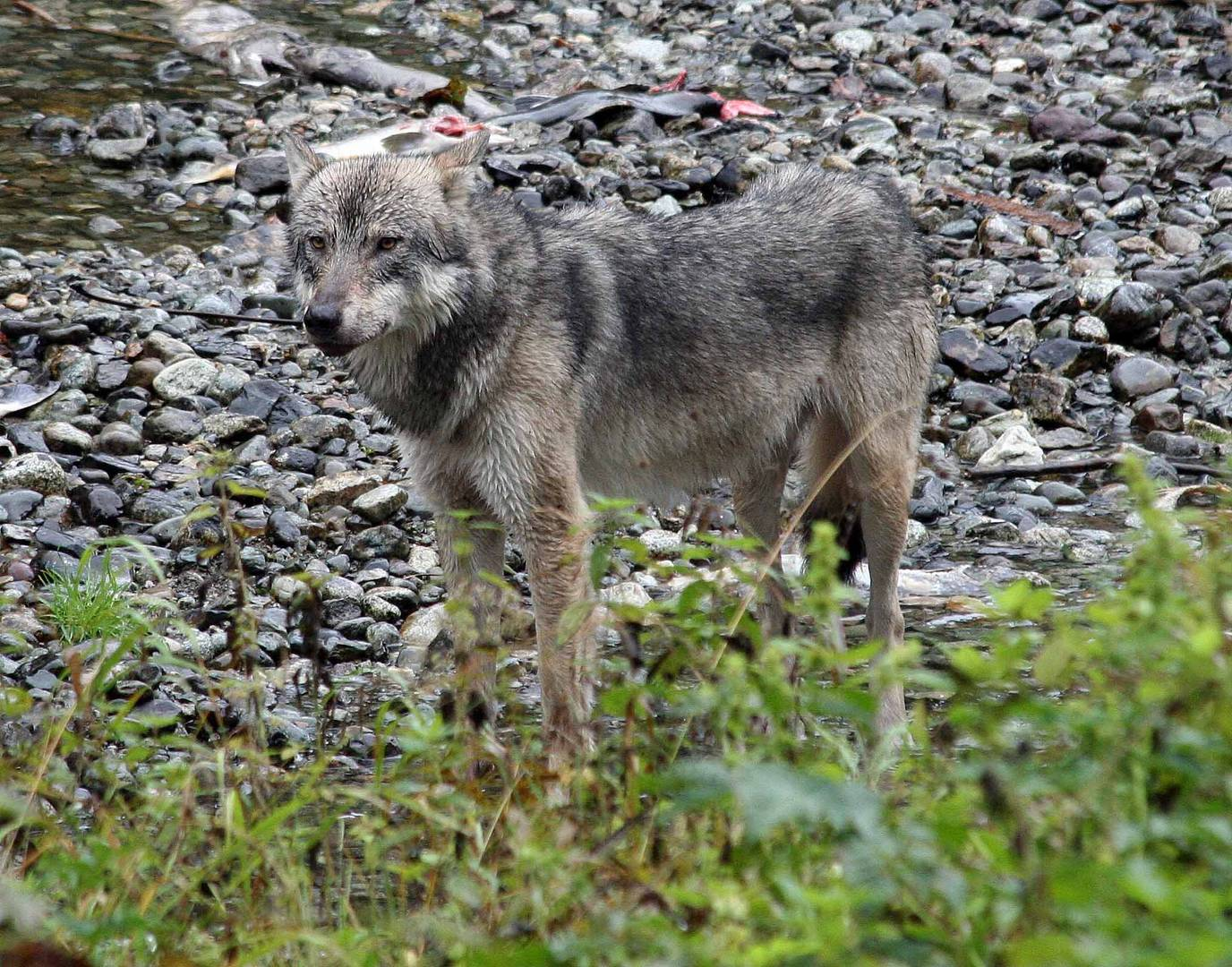 Kanadischer Wolf (Canis Lupas hudsonicas) (2)