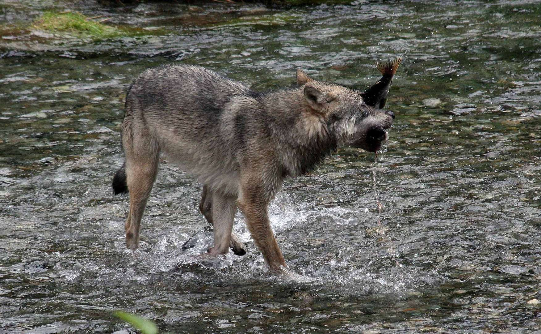 Kanadischer Wolf (Canis Lupas hudsonicas) (6)