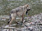 Kanadischer Wolf (Canis Lupas hudsonicas) (7)