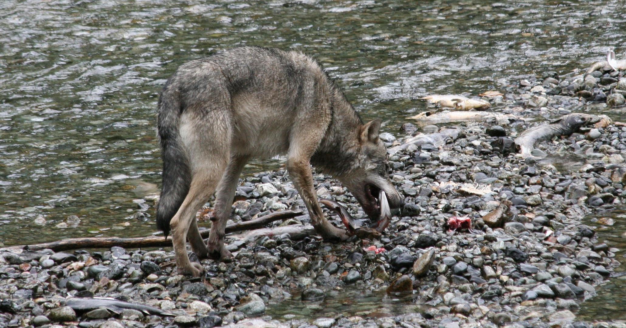 Kanadischer Wolf (Canis Lupas hudsonicas) (9)