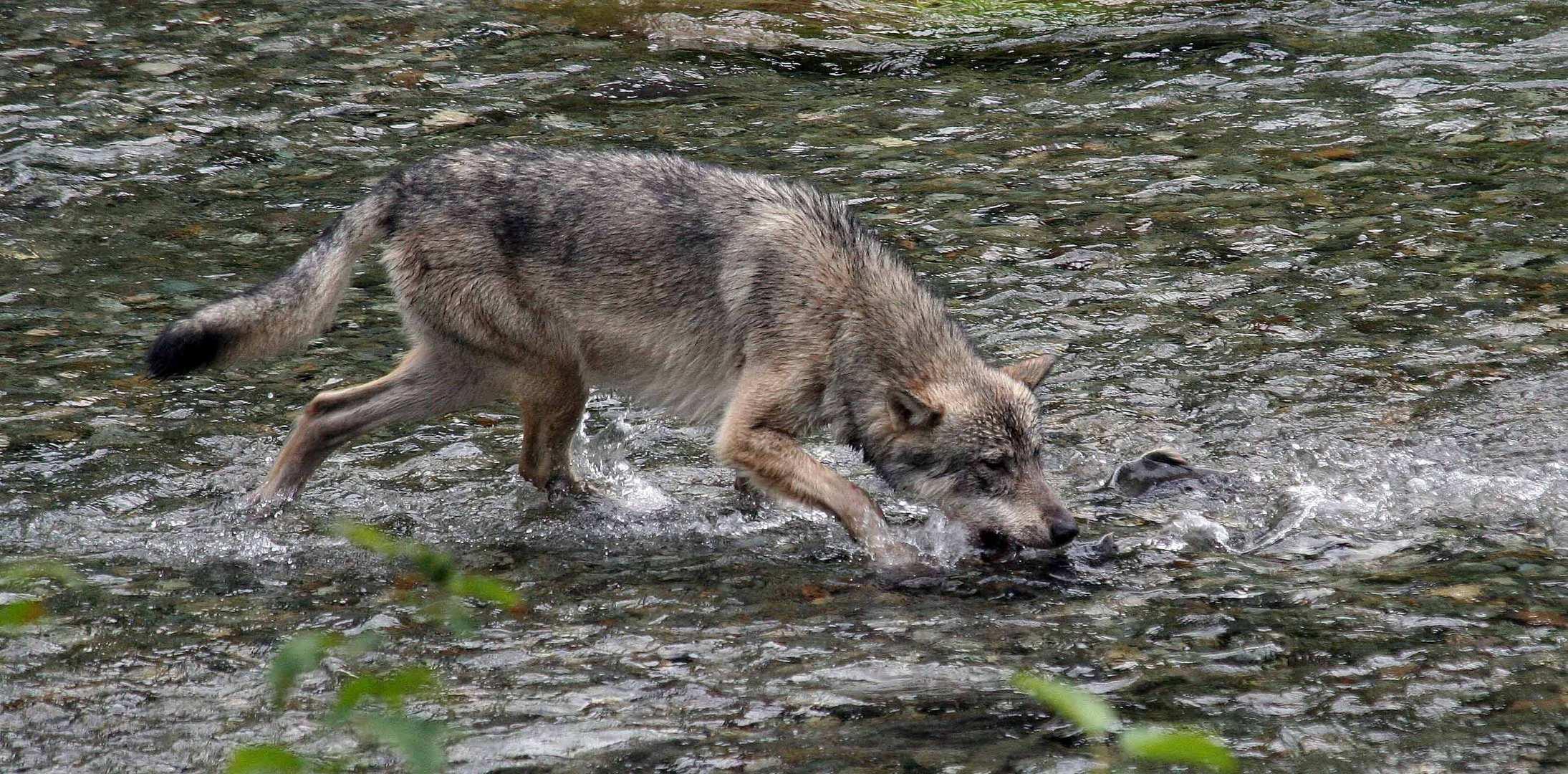 Kanadischer Wolf (Canis Lupas husonicas) (3)