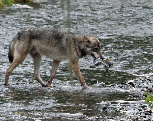 Kanadischer Wolf (Canis Lupos hudsonicas) (14)