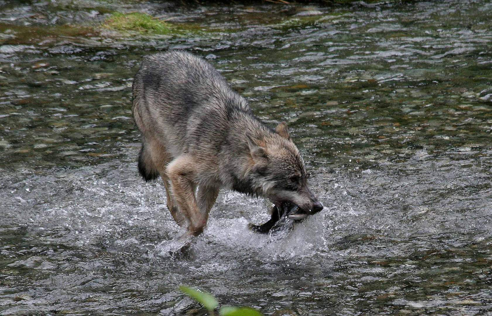 Kanadischer Wolf (Canis Lupus hudsonicas) (5)