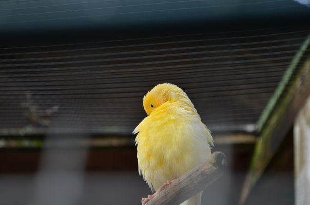Kanarienvogel I