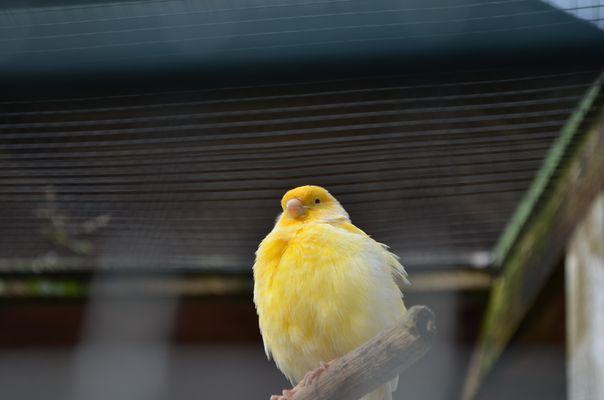 Kanarienvogel II
