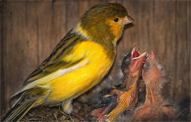 Kanarienvogel mit Jungen