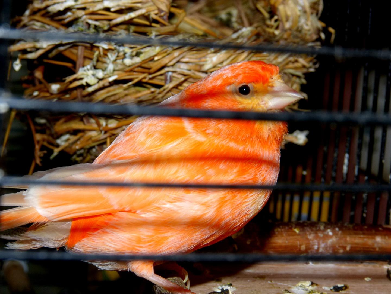 Kanarienvogel Piepmatz