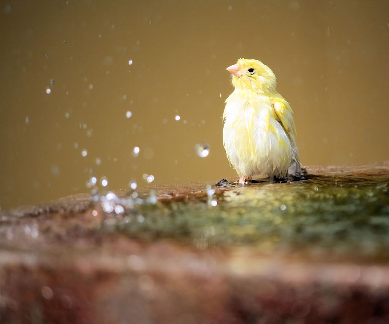 Kanarienvogel sucht Erfrischung