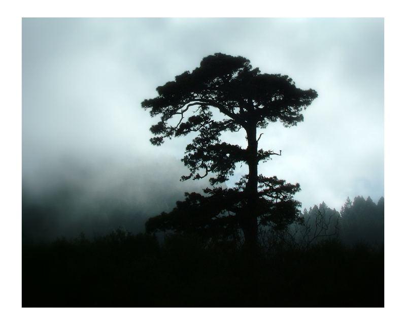 Kanarische Kiefer im Nebel