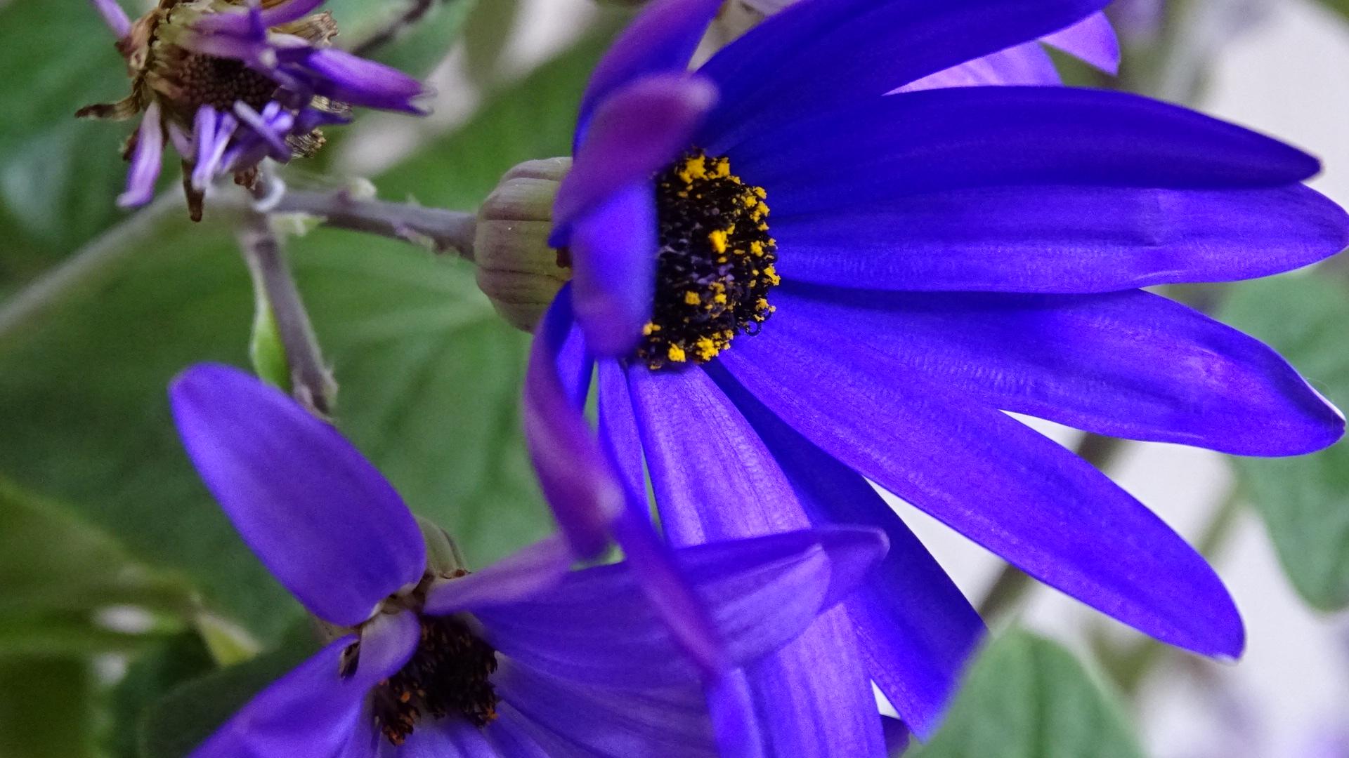 Kanarische Läuse- bzw. Aschenblume