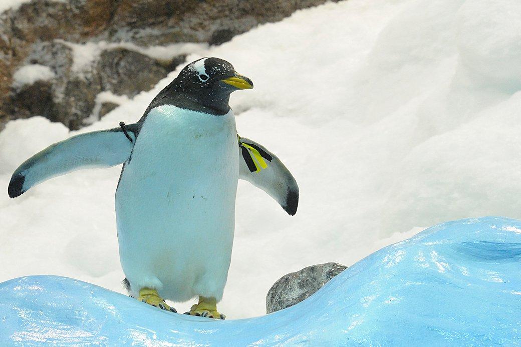 Kanarischer Pinguin