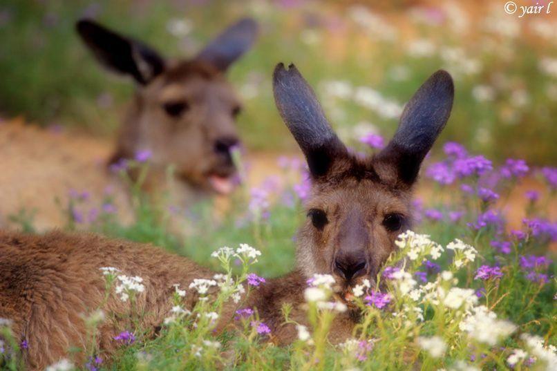kangaroo between the flowers