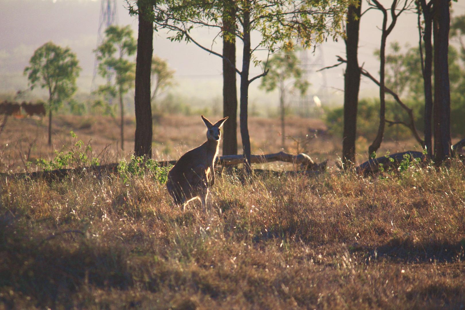 Kangaroo On Pakington