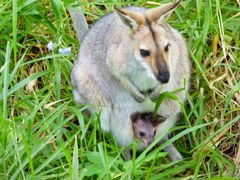 Kangaroo with Joey in pouch in the wild at Simoret Winery