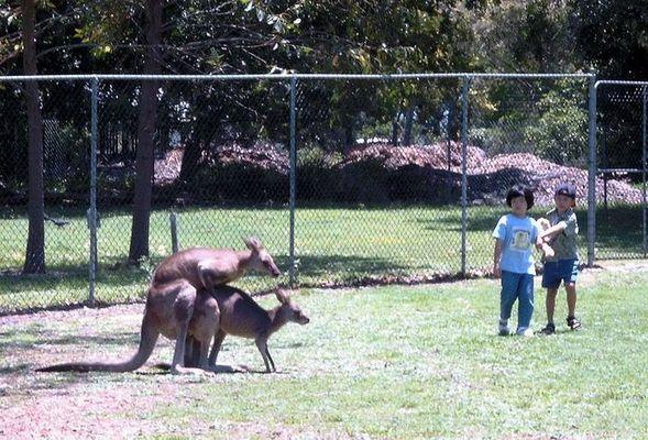 [kangaroos in action]