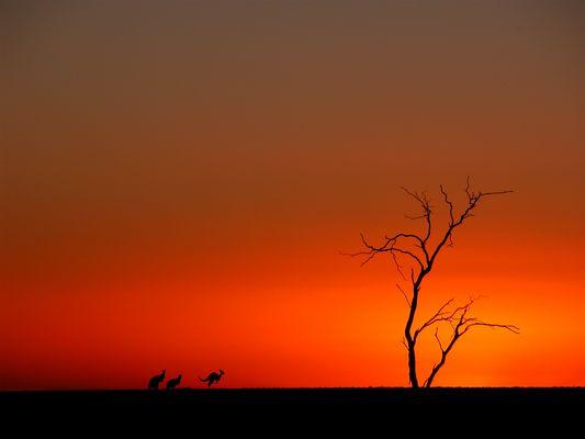 Kangaroos in Aussie Sunset