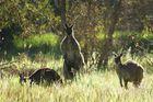 Kangaroos in Myponga 1