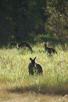 Kangaroos in Myponga 3