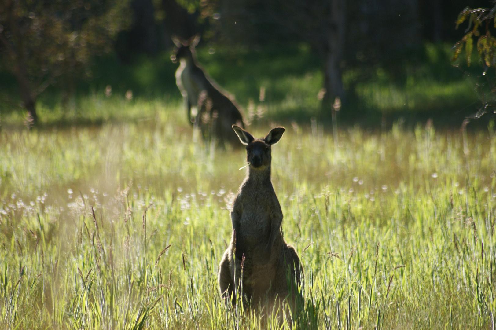kangaroos in Myponga 4