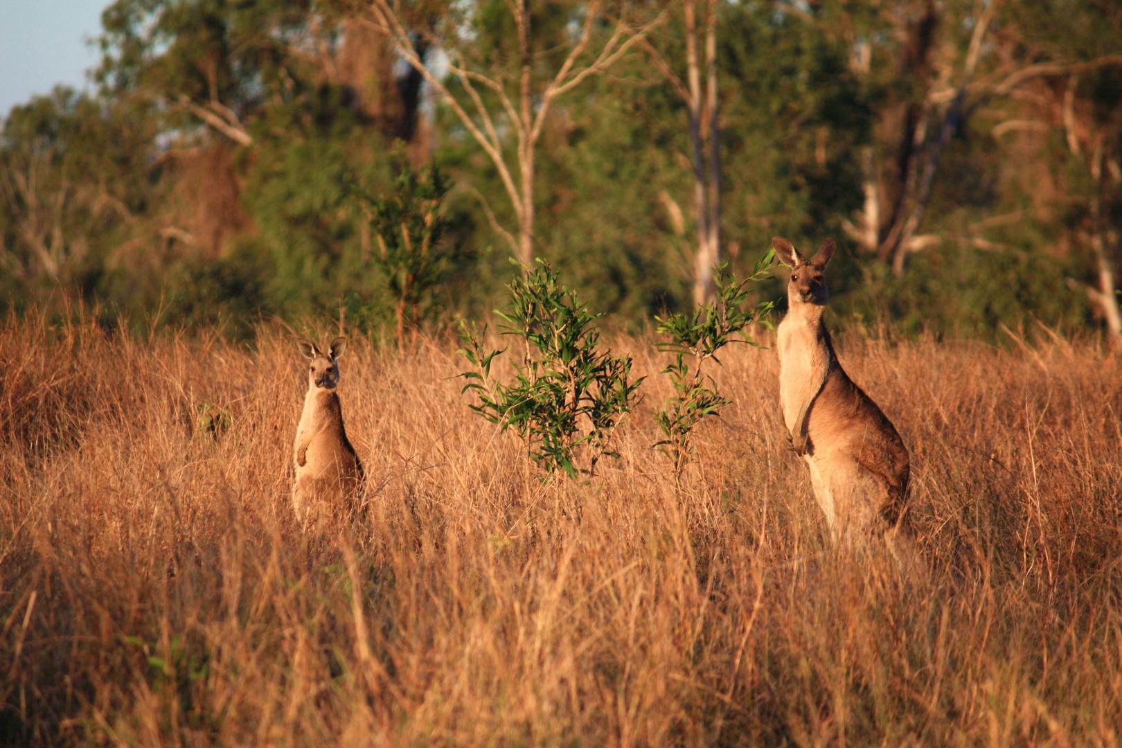 Kangaroos On Pakington