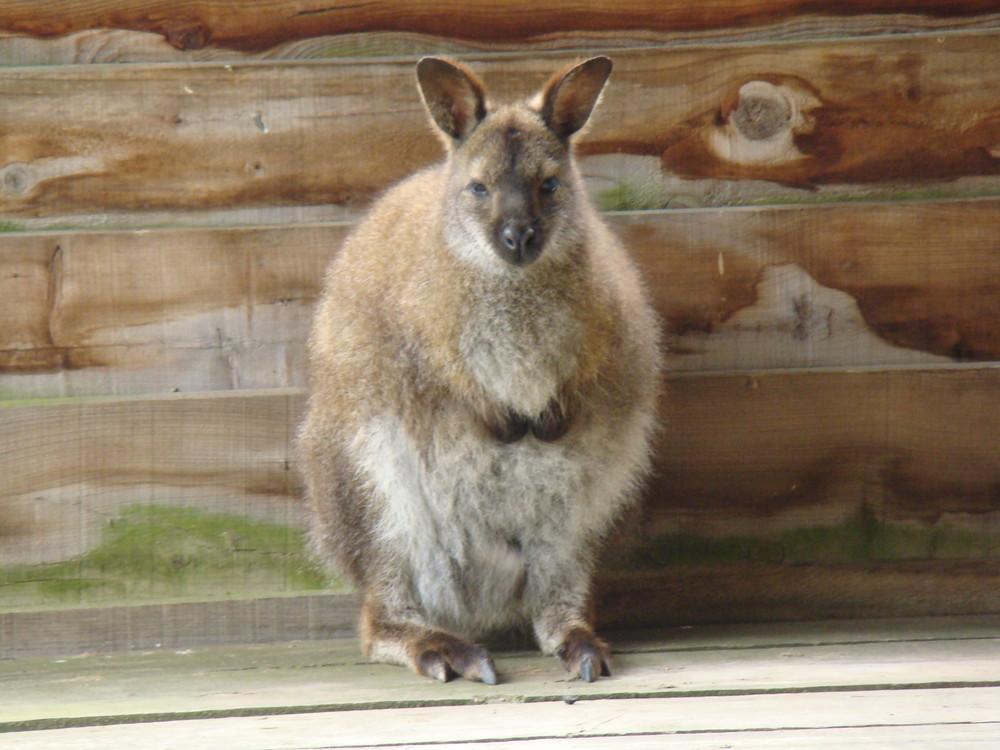 kangourou du Zoo de Mervent