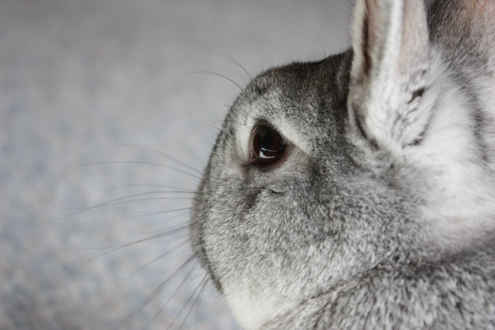 kaninchen grau in grau foto bild tiere haustiere nagetiere kaninchen bilder auf. Black Bedroom Furniture Sets. Home Design Ideas