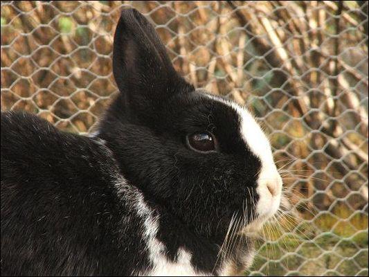 Kaninchendame Ciara