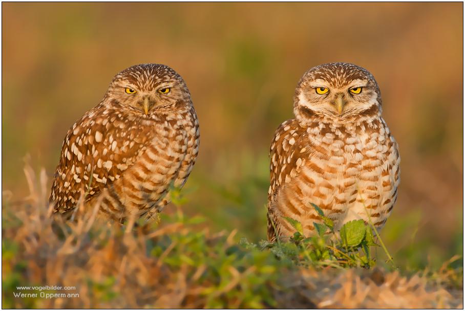 Kaninchenkauz (Athene cunicularia) Burrowing Owl
